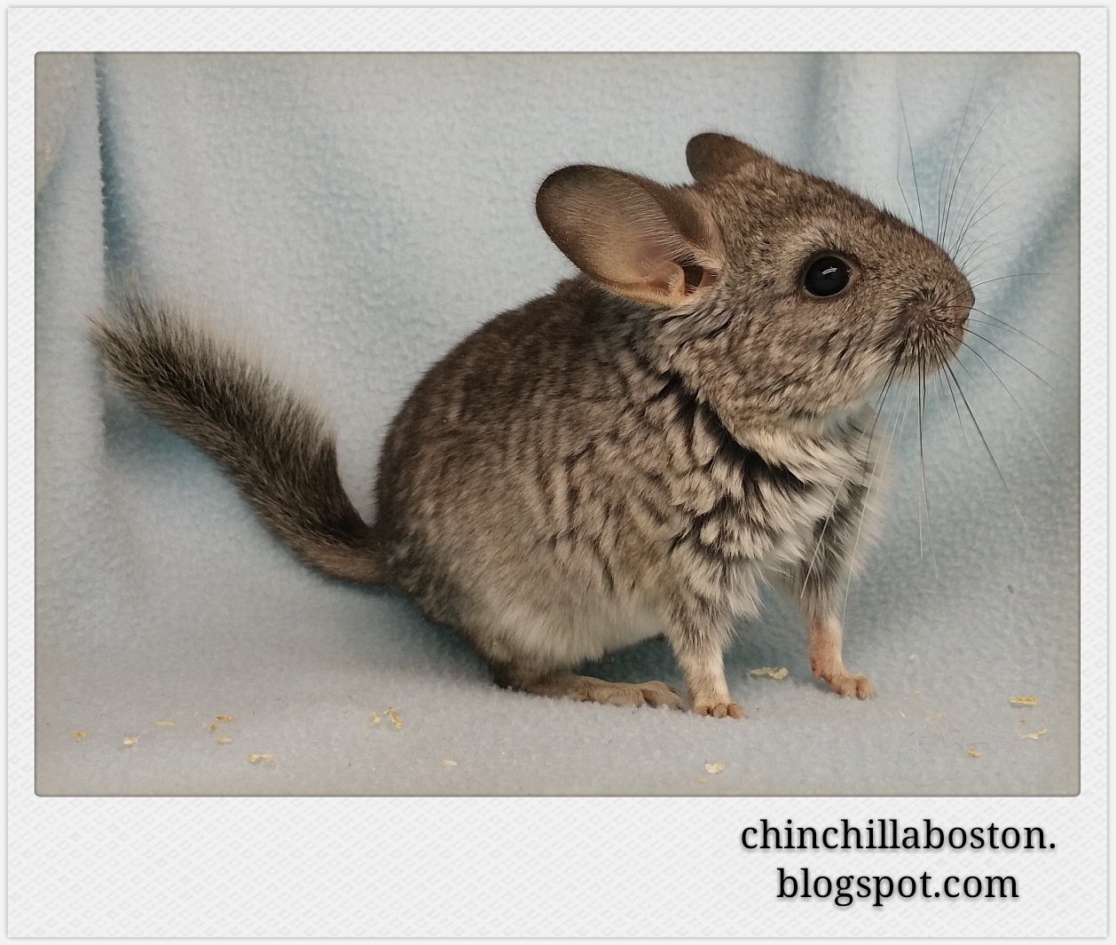 Chinchilla Boston: Adopted (Spinach)
