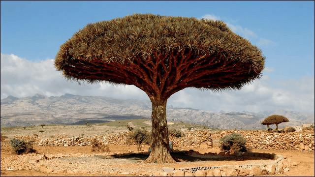 世界にある驚くべき植物、竜血樹