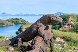 Komodo Island - the Largest Reptile Island in the World