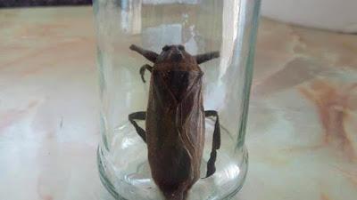 Τρόμος και στη Ροδόπη από σαρκοφάγο έντομο