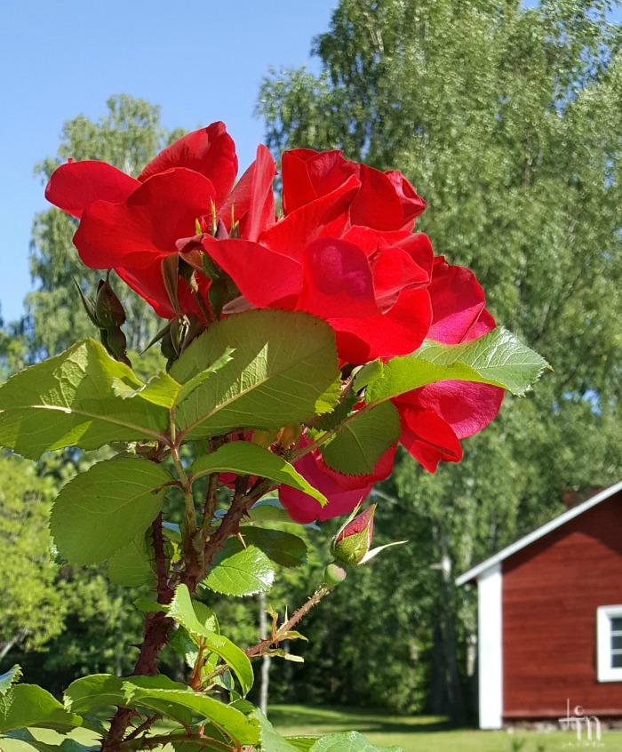 punaiset ruusut Ruissalossa