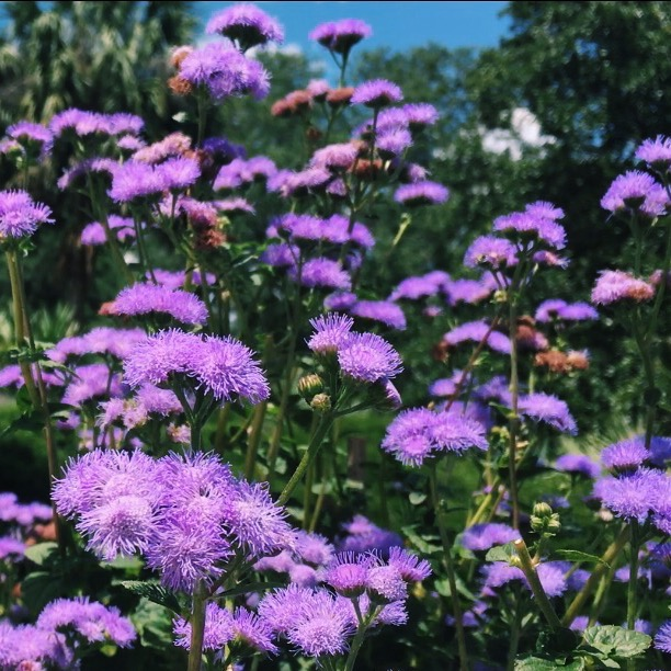 bok tower gardens, Lauren Banawa, lake wales, florida scenery, purple flowers