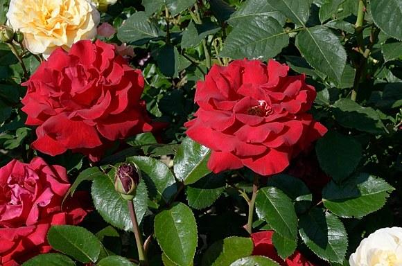 Helmut Kohl Rose сорт розы фото купить саженцы Минск Питомник