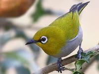 Download Gratis Suara Burung Pleci Mp3 Ngalas Gacor Masteran