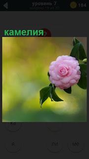 цветет камелия ярким розовым цветком