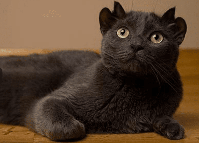 Yoda, o gato que nasceu com quatro orelhas