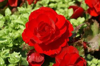Begonia 'Primary Scarlet'