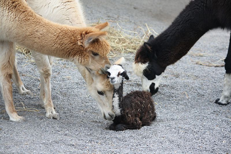 Baby Animals: Cria 2