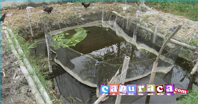 kolam ikan lele jaring apung