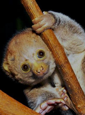 Potto Facts, Amazing Animals Potto, Potto Amazing Fact