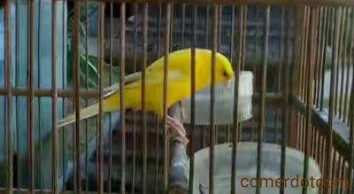 Tips agar burung kenari cepat gacor