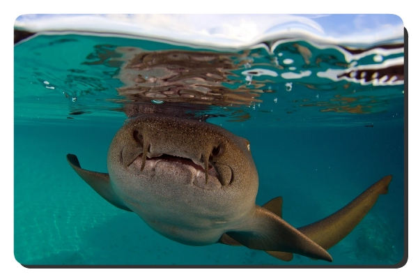 nurse shark facts
