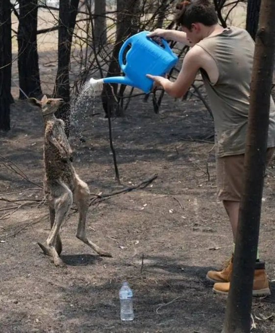 Young Kangaroo With Severe Burns Pleads For Water From A Boy