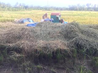 pemanfaatan jerami padi untuk pakan ternak