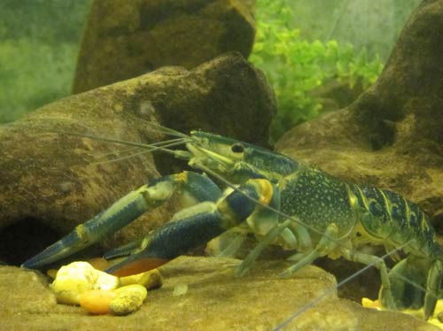Red Claw Yabby