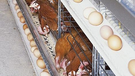 Obat Organik Untuk Meningkatkan Produksi Telur
