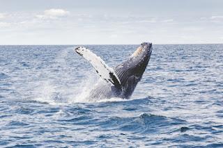 humpback whale, humpback whale breaching, humpback whale jumping