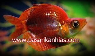 Ikan hias Rainbow Fish