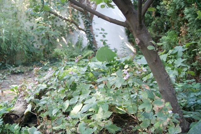 Schattenbeet unter Quittenbaum