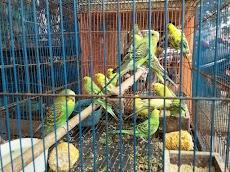 Mengenal Jenis burung Parkit berdasarkan asal tempatnya