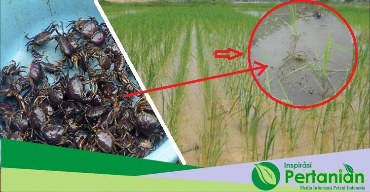 Mengatasi Kepiting, Hama Perusak Padi Dengan Pestisida Organik