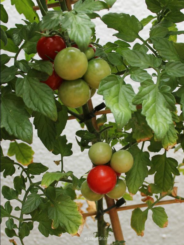 racimos de tomates