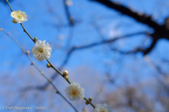 白い梅の花と木