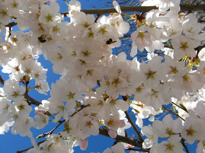 Bees feeding in white Prunus serrulata Japanese flowering cherry blooms by garden muses: a Toronto gardening  blog