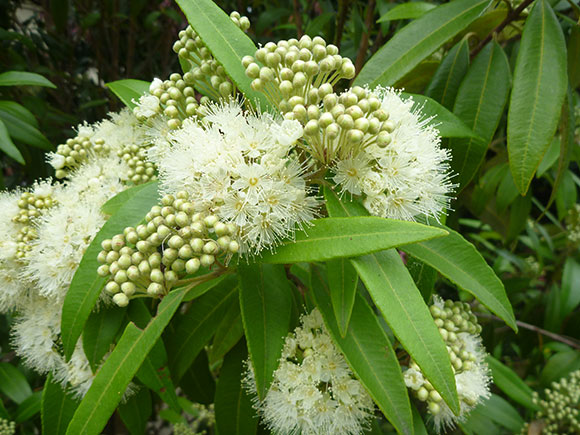 Lemon Myrtle Australia