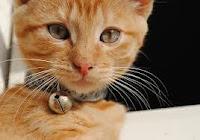 cascabel con gato