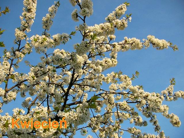 kwitnące gałązki czereśni
