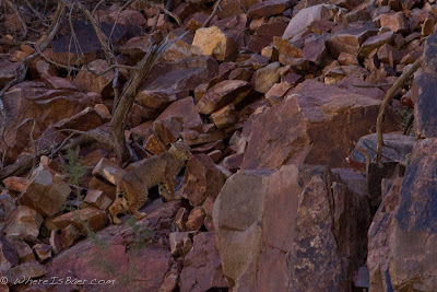 the Bobcat wasn't as excited about our appearance, Grand canyon colorado, Chris Baer
