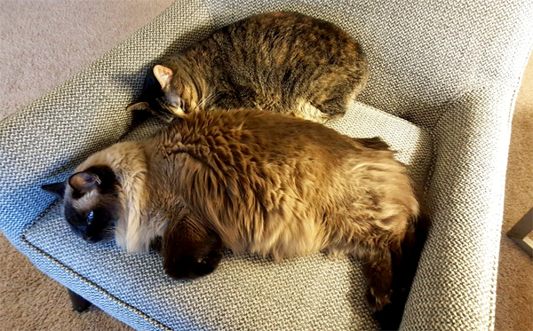 image of Matilda and Sophie the Torbie Cat lying curled up in a chair together