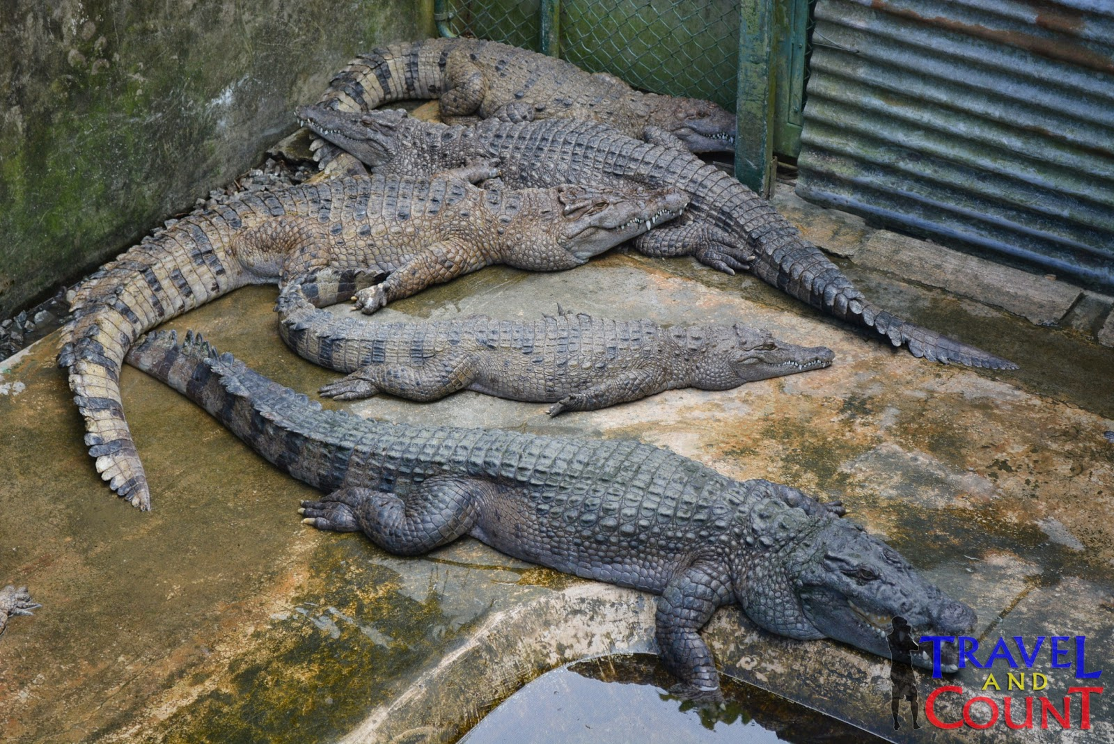 Crocodile Eats Snake