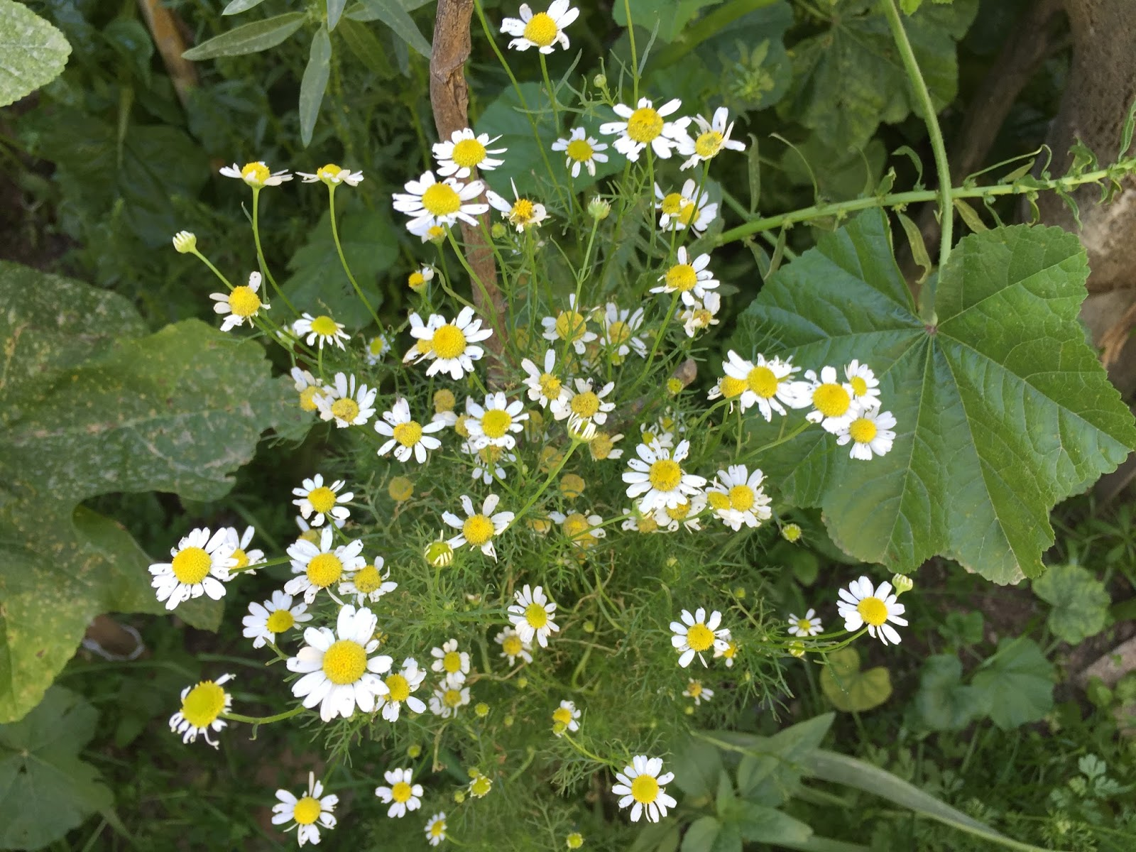 How To Grow Chamomile Home And Garden
