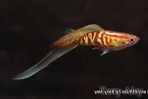 Lower Swordtail
