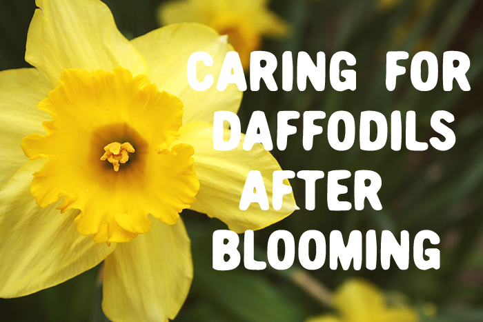 Caring for Daffodils after blooming