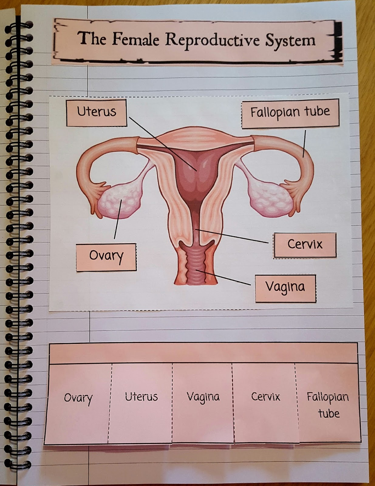 Iman S Home School The Female Reproductive System