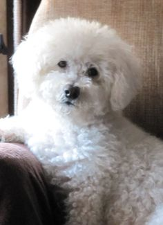 Top 10 Most Affectionate Dog Breeds Annie Many
