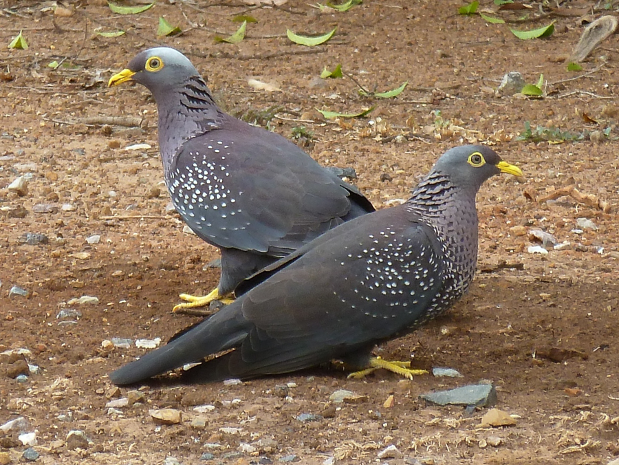 African Olive Pigeon – Raydah Escarpment