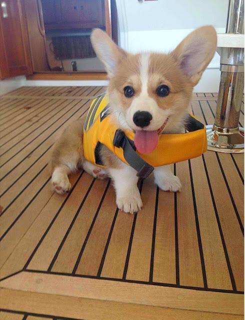 Little Sailor Corgi