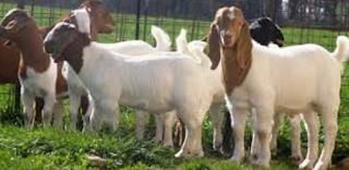 Boerka ialah kependekan dari Kambing Boer dan kambing kacangan Kabar Terbaru- TERNAK KAMBING BOERKA SEMAKIN MENGGILA UNTUNGNYA