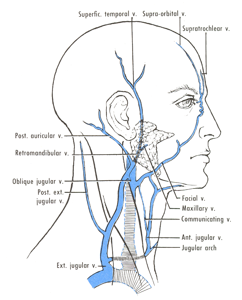 Pedi cardiology: Anatomy - External Jugular Vein