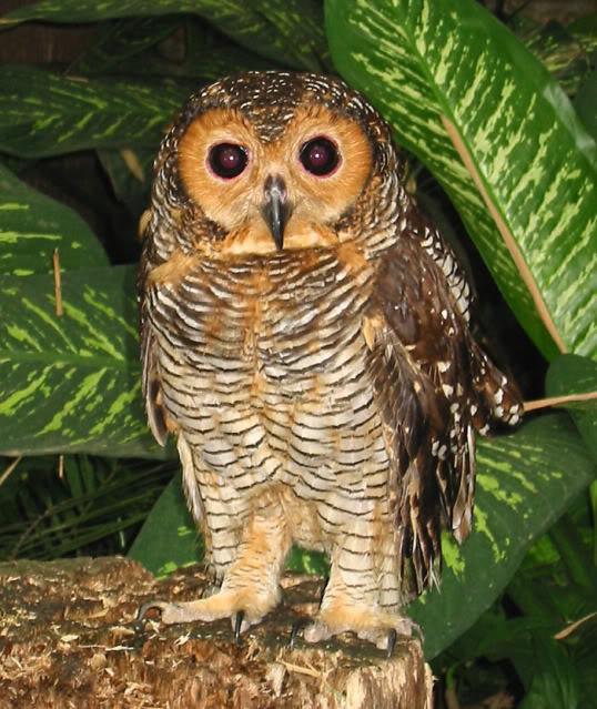 Jual Berbagai Burung Hantu Area Jogja Jual Menerima Pesanan Berbagai Jenis Burung Hantu