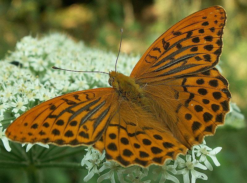 пахучие чешуйки у бабочек