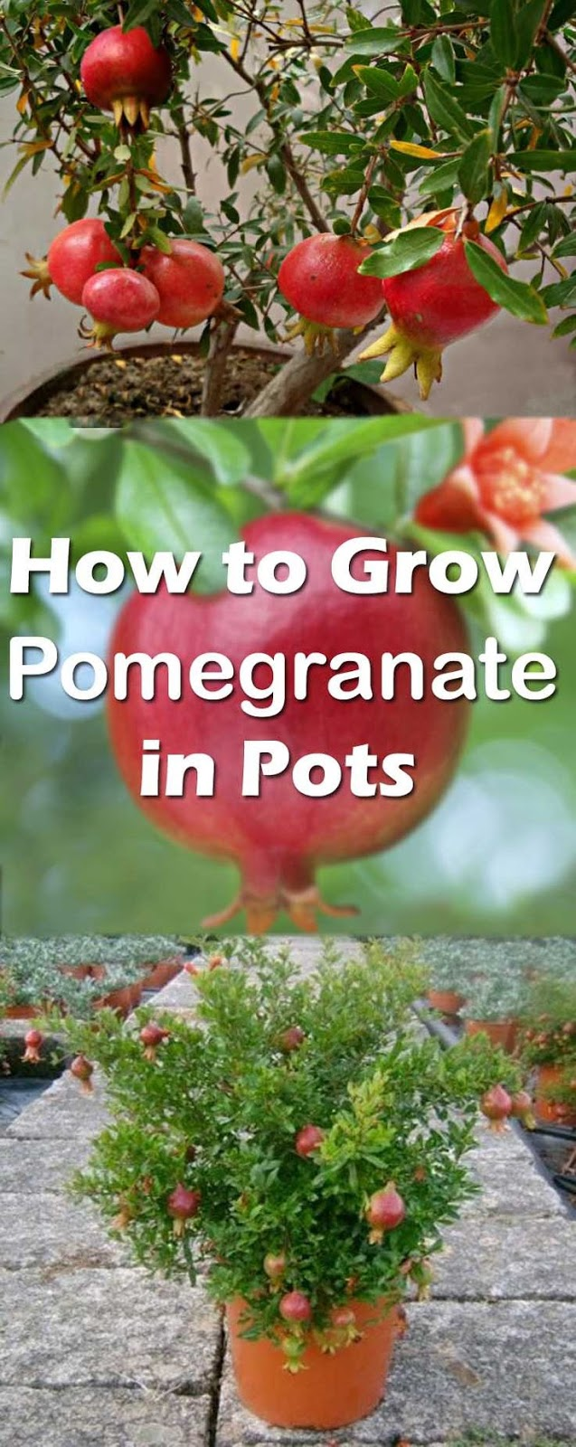How To Grow It And How To Use It For: How To Grow Pomegranate Tree In Pot.. Pomegranate Is One