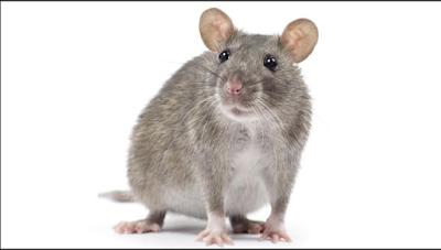 Cara Mengusir Ular, Tikus, Kelabang, Tokek dan 8 Hewan Pengganggu Lainnya