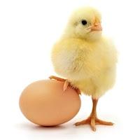 yumurta üzerine basmış komik civciv, yumurtamı tavuktan çıkar tavuk mu yumurta dan