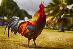 Mantra Agar Menang Adu Ayam Jago Paling Ampuh