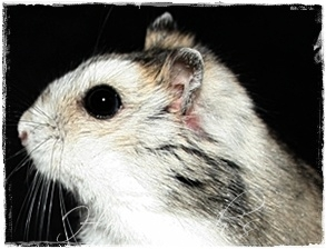 Winter White Dwarf Hamster Profile
